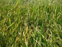Reisbauernhof bei Suphanburi, Thailand Lizenzfreies Stockbild