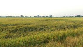 Reisbauernhof haben Schadenformregen Lizenzfreie Stockbilder