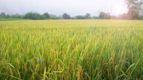 Reisbauernhof am Morgen Stockfotos