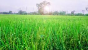 Reisbauernhof am Morgen Stockfotografie
