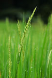 Reisbauernhofansicht Lizenzfreie Stockfotografie