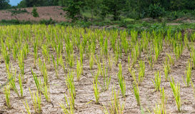 Reisbaum und getrockneter Boden Lizenzfreies Stockfoto