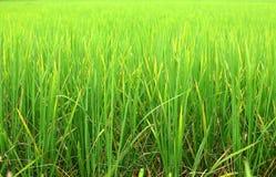 Reisblätter Lizenzfreies Stockbild