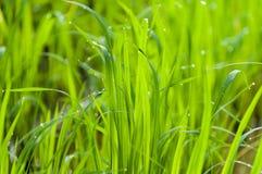 Reisblätter und Tropfen des Wassers auf Blatt Stockfotos