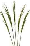 Reisblume lokalisiert auf weißem Hintergrund Stockfotografie