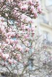 Reise: Magnolienblüte in Paris Frankreich stockfotos