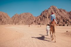 Reisendmann reitet ein Kamel in der Wüste durch Sinai-Berge Beduinisches leitendes Tier des Jungen Krasnodar Gegend, Katya stockbild