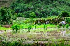 Reisernte bereit zum Pflanzen in der Reisterrasse Lizenzfreie Stockbilder