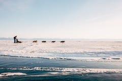 Reiseschlittenhunde heiser stockfotos
