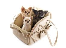 Reisetasche und -Chihuahua Stockfotografie