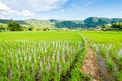 Reisfeld auf Hintergrund des blauen Himmels Lizenzfreie Stockbilder