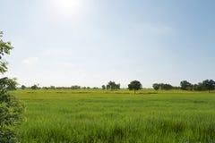 Reisfeld auf Morgen Stockfotografie