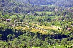 Reisfeld in Bali Stockbild