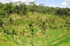 Reisfeld in Bali Lizenzfreies Stockbild