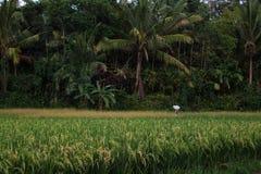 Reisfeld in Bali Indonesien/Asien Stockfotografie