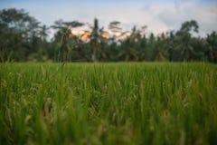 Reisfeld in Bali Indonesien/Asien Stockbilder