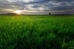 Reisfeld bei Sonnenuntergang Lizenzfreies Stockfoto