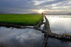Reisfeld bei Sonnenuntergang Stockbild