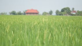 Reisfeld bei Tanjung Karang Selangor lizenzfreie stockfotos