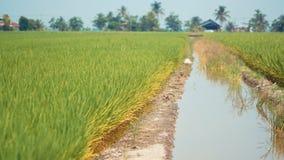 Reisfeld bei Tanjung Karang Selangor lizenzfreie stockfotografie