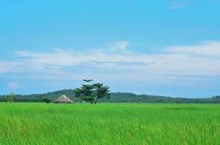 Reisfeld, blauer Himmel Stockfoto