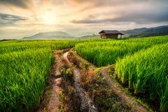 Reisfeld in Chiang Mai stockfotografie
