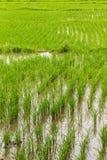 Reisfeld in Chiangmai, Nord-Thailand Stockbilder