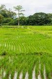 Reisfeld in Chiangmai, Nord-Thailand Stockbild
