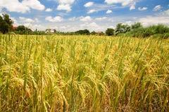 Reisfeld an der Ernte für Landwirtschaftsindustrie stockbild