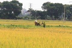 Reisfeld in der Erntezeit stockfoto