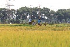 Reisfeld in der Erntezeit lizenzfreies stockbild