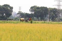 Reisfeld in der Erntezeit lizenzfreie stockfotos
