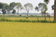Reisfeld in der Erntezeit stockfotografie