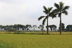 Reisfeld in der Erntezeit stockbild