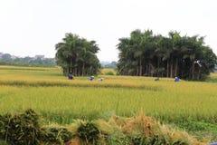 Reisfeld in der Erntezeit stockbilder