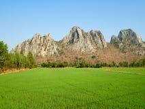 Reisfeld an der Landseite an einem vollen Tag Stockfotografie
