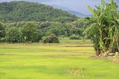 Reisfeld in der Regenzeit lizenzfreie stockfotos