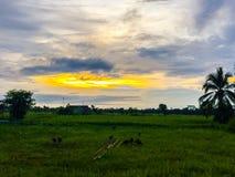 Reisfeld des Landes morgens mit blauem und orange Himmel herein Stockfotos