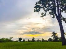 Reisfeld des Landes morgens mit blauem und orange Himmel herein Stockbilder
