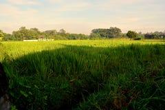 Reisfeld fing an zu wachsen Stockbilder