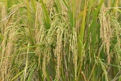 Reisfeld, grünes Landwirtschaftsland, Indien Lizenzfreie Stockbilder