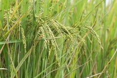 Reisfeld, grünes Landwirtschaftsland, Indien Lizenzfreie Stockfotos