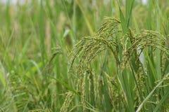 Reisfeld, grünes Landwirtschaftsland, Indien Lizenzfreies Stockfoto
