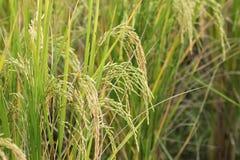 Reisfeld, grünes Landwirtschaftsland, Indien Stockfoto