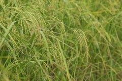 Reisfeld, grünes Landwirtschaftsland, Indien Lizenzfreies Stockbild