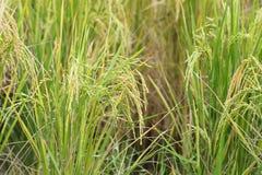 Reisfeld, grünes Landwirtschaftsland, Indien Stockbild