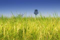Reisfeld, grünes Landwirtschaftsland, Indien Stockbilder