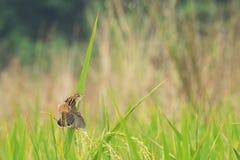 Reisfeld, grünes Landwirtschaftsland, Indien Stockfotografie