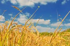 Reisfeld im blauen Himmel Stockfotos