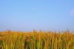 Reisfeld im Herbst lizenzfreie stockfotografie